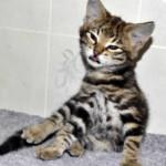 f2 savannah kittens leg0128fh