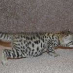 f2 savannah kittens leg0801bgg2o
