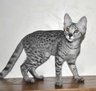 F2 Savannah Kittens for Sale Savannah Kittens Available in ...