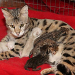 f2-savannah-kittens-risea1