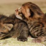 f2-savannah-kittens-risea1b