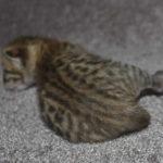 f6 savannah kittens m18092016b