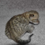 f6-savannah-kittens-m18092016c