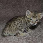 f6-savannah-kittens-m18092016e