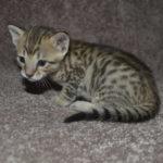 f6-savannah-kittens-m18092016f