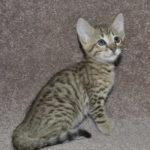 f6-savannah-kittens-m18092016i