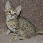 f6-savannah-kittens-m18092016j