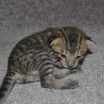 f6-savannah-kittens-m28092016c