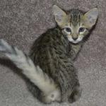 f6-savannah-kittens-m28092016h