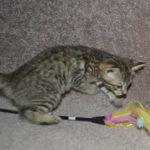 f6-savannah-kittens-m28092016i