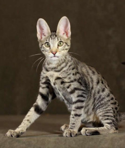f6 savannah kittens mommyversace