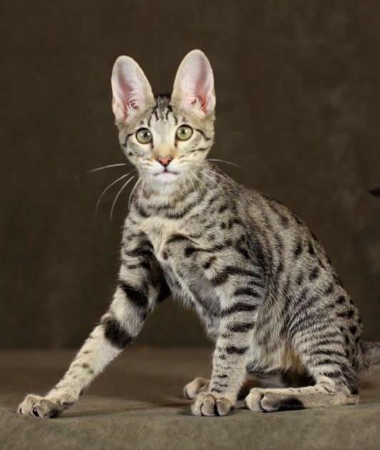 F5 Savannah Cat Full Grown – images free download