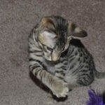 f6-savannah-kittens-ver0317cc