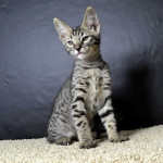 f6 savannah kittens ver620d