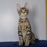 f6 savannah kittens vm21231e