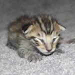 F6 Savannah Kittens for Sale mm12152017