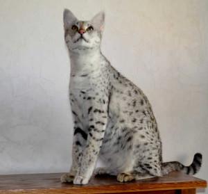 F1 Savannah Cat Queen OCt