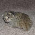 savannah kittens 0804obeg1b