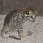 savannah-kittens-0804obeg2e