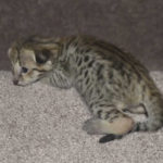 savannah-kittens-0804obeg2f