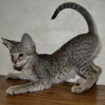 savannah-kittens-0804obegye