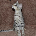 savannah kittens f2ocma