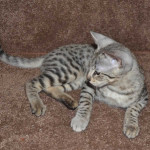 savannah kittens f2ocmd