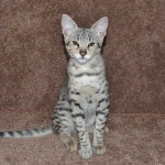 savannah kittens f2ocme