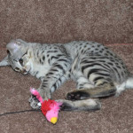 savannah kittens f2ocmf