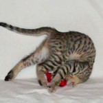savannah kittens verf11201h