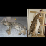 savannah kittens ya1c