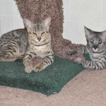 Cat Trees for Savannah Cats