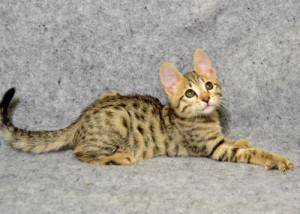 F6 Savannah Kittens for Sale a