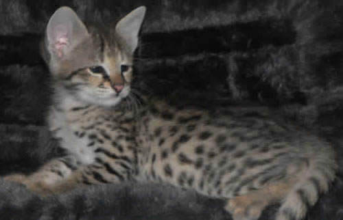 f2 savannah cats minih1