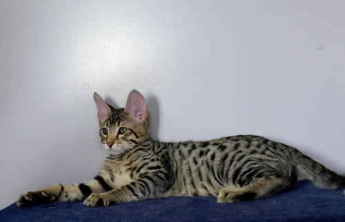 f6 savannah kittens vm21231d